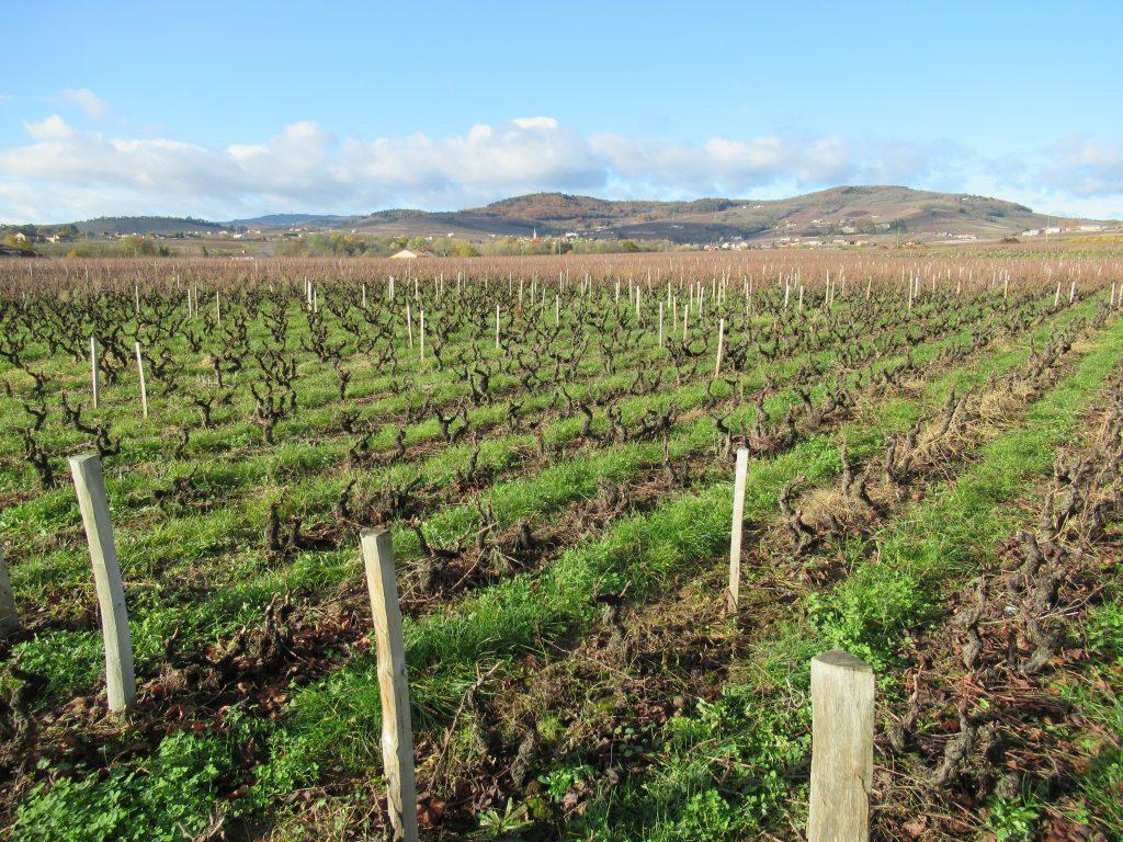 Vignes enherbées à Chénas